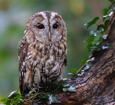 The Stare by © John Flick Purchase Tawny Owl - Newstead Abbey, Nottinghamshire, UK.