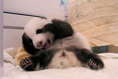 panda  Panda in Qlychee.com #Panda