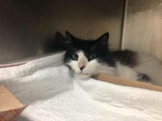 Adopted/rescued! TO BE DESTROYED 6/14/14 ** SPECIAL PLEA FROM THE ACC: Staff favorite!! Hidey is a hidden treasure that's not to be missed!! Located at MACC! ** Manhattan Center  My name is HIDEY. My Animal ID # is A1001406. I am a neutered male black and white domestic mh mix. The shelter thinks I am about 5 YEARS old.  I came in the shelter as a STRAY on 05/29/2014 from NY 10029, OWNER DIED. I came in with Group/Litter #K14-179084.