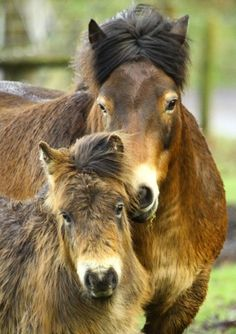 Exmoor Pony - Mare and foal