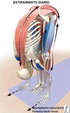 Estiramiento, cadenas musculares