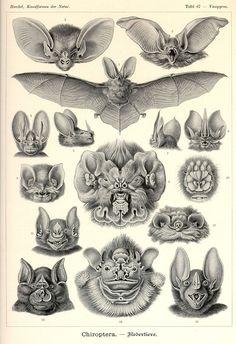 Ernst Haeckel, Kunstformen der Natur, Chiroptera