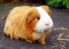 03/20/2015: Ginger pig has luxurious hair!