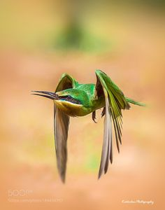 BLUE CHEEKED BEE-EATER by HakeemKokkodan via http://ift.tt/2gexlYd