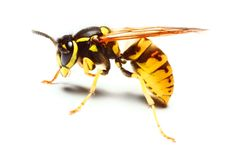 wasp - Google Search