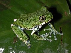 The Amani forest tree frog, Leptopelis macrotis, is a species of frog in the Arthroleptidae family found in Ivory Coast, Ghana, Guinea, Liberia, and Sierra Leone. Its natural habitats are subtropical or tropical moist lowland forests and rivers. It is threatened by habitat loss.