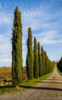 Cypress trees, in Val d'Orcia, Tuscany, Italy / by Hans Kruse