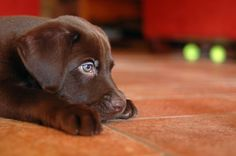 Chocolate Lab Puppy by OneMipipippi