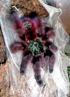 Antilles pinktoe tarantula - Wikipedia