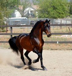 Shadrach - Morgan stallion standing at stud. Cute Horses, Pretty Horses, Most Beautiful Horses, Animals Beautiful, Horse Spirit Animal, Bay Horse, Horse Horse, Horse Saddles, Horse Markings