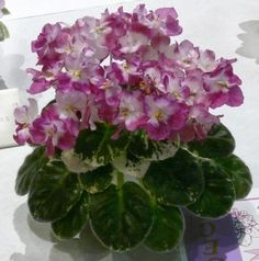 RD's Dorothy - I like this. It caught my eye because of the name. I have had 2 dear friends named Dorothy. Perennial Flowering Plants, Herbaceous Perennials, Room With Plants, House Plants, Live Plants, Saintpaulia, Wonderful Flowers, Different Flowers, Easy Garden