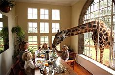 Share a house with giraffes at Giraffe Manor, Nairobi, Kenya. The manor and estate is home to the critically endangered Rothschild Giraffe. # Some one pass the green stuff here please! Monte Kilimanjaro, See Yourself, The Places Youll Go, Places To Go, Unique Hotels, Amazing Hotels, Suites, Belle Photo, Luxury Travel