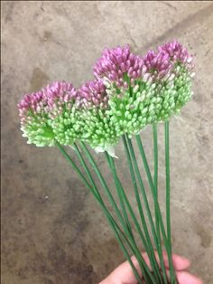 Christa And Guy Allium Sold Mini Allium 15th July Wholesale Floral 10 Stems Flower Varieties Delivery Service Bunches
