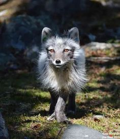 This magnificent Arctic Fox, photographed at Langedrag Nature Park in Norway, is critically endangered in Norway, Sweden, and Finland. Nature Animals, Animals And Pets, Cute Animals, Beautiful Creatures, Animals Beautiful, Otter, Fennec, Wolf Hybrid, Pet Fox