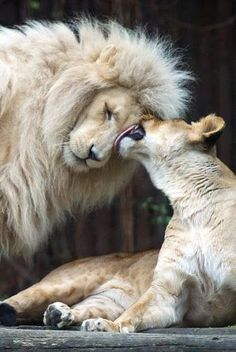 True strength lies in the soul next to you. Give it respect and honor and you will get them back! Big Cats, Cats And Kittens, Cute Cats, Siamese Cats, Animals And Pets, Baby Animals, Cute Animals, Wild Animals, Lion Pictures