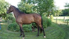 Paarden te koop: Icarus Mansolein
