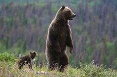 A grizzly bear and its cub. Grizzlies most often attack when surprised with their cubs. If you encounter a grizzly with its cub, be prepared -- the chances of an attack increase exponentially.