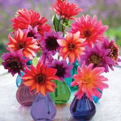 Hot Dahlia Collection from Sarah Raven - http://www.sarahraven.com/flowers/bulbs/dahlias/hot_dahlia_collection.htm