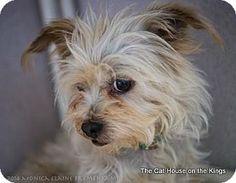 Parlier, CA - Silky Terrier Mix. Meet Sammy, a dog for adoption. http://www.adoptapet.com/pet/10221375-parlier-california-silky-terrier-mix