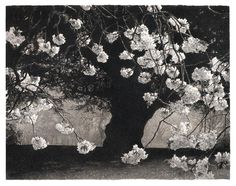 Sarah Gillespie(British) Cherry & Yew 2011 Charcoal & Sepia Ink on paper