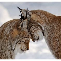 Said one lynx to the other: what do you see?