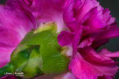 Pink Carnation Stem