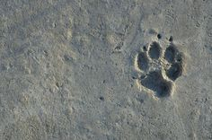 Wolf Print in Sand Spirit Bear, Wild Wolf, Coastal, Wolves, Dog Stuff, Bears, Tours, Canada, Wolf