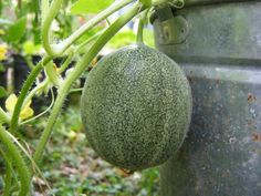 young_cantelope_fruit Growing Melons, Growing Vegetables, Growing Plants, How To Grow Watermelon, Organic Gardening Tips, Vegetable Gardening, Veggie Gardens, Inside Plants, Fruit Plants