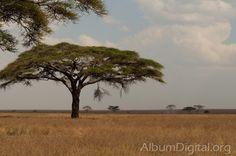 Africa, Parque Nacional del Serengueti, Patrimonio Humanidad Unesco, Serengeti National Park, Serengueti, Tanzania, acacias, flora africana, fondo, fondos, llanura, naturaleza, paisaje, paisaje africano, sabana, safari fotografico, vida salvaje,