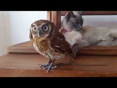 Here it is, the one video that brings two of your favorite animals, an owl and a cat, together for the first (maybe) time. There's no reason these two should be best friends, and yet, for just a few glorious moments, they are. Marvel at the owl's patience; stare in awe at the cat's attempts to play with his BFF. Start your evening off right.
