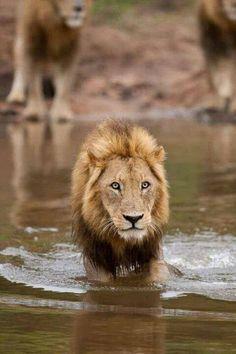 History's most brutal killers, the Majingilane Male Lions Beautiful Cats, Animals Beautiful, Cute Animals, Lion Pictures, Funny Animal Pictures, Lion Sketch, Wild Lion, Wild Creatures, Mundo Animal