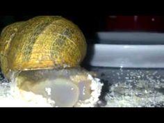 como comen los caracoles