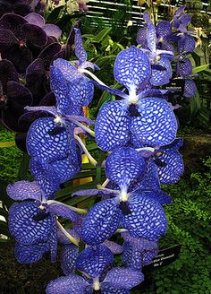 Rare Blue Vanda orchids from the Orchid Society. Unusual Flowers, Wonderful Flowers, Rare Flowers, Beautiful Flowers, Vanda Orchids, Rare Orchids, Rare Plants, Exotic Plants, Types Of Orchids