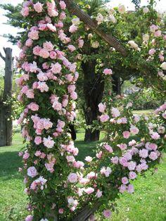 pink roses | roses garden | climbing roses
