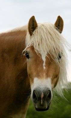 Haflinger; if I ever get to have a horse again ...  wonderful disposition, and very smart!