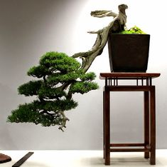 La idea de este blog es la de compartir mis experiencias con los Bonsai, especialmente con los Yamadori. A idéia deste blog é compartir minhas experiências com Bonsai, especialmente com Yamadori.  The idea of this blog is to share my experience with Bonsai, especially with Yamadoris.