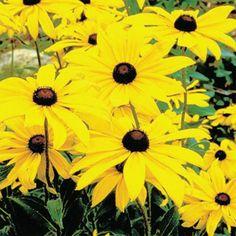 Black-Eyed Susan  bought & planted