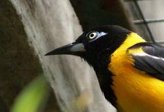 Turpial, national bird.