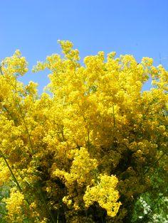 sanziene ponoarele - Google Search Facebook, Google Search, Natural, Romania, Plant, Love, Home, Nature, Au Natural