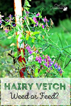 Hairy vetch agriculture