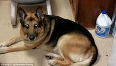'Boozy Bella': Bella the German Shepherd required emergency treatment after knocking a litre bottle of advocaat off a table when her owner was out - and lapping up the contents