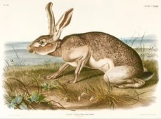 John Woodhouse Audubon (1812–1862), Texian Hare (Lepus Texianus), 1848, Hand-colored lithograph, Museum of Fine Arts, Houston