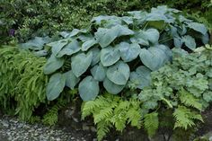 """Hosta 'Blue Angel' is a vibrant blue cultivar that is exceedingly popular for shade plantings. The large clumps bear very sizable leaves that give way to 48"""" tall scapes, in midsummer, that bear abund"""