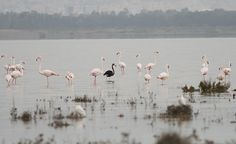 Rare black flamingo is spotted at a salt lake on island of Cyprus. Photo from the Akrotiri Environmental Education Centre Facebook page