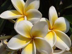 12 Best Fleurs Tahiti Une De Pacific Images Gardenias Tropical