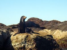 "Sea Lion at the ""lobera"" on Isla Coronados, Loreto Bay, Baja California Sur, Mexico http://bajabybus.com/blog/item/29-loreto-bay-isla-coronados"