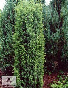 Juniperus communis 'Bruns' 1 Juniperus Communis, Dwarf, Evergreen, Pots, Herbs, Gardening, Beautiful, Pine Tree, Firs