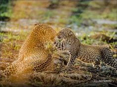 """""""I spent three months tracking a leopard family in South Luangwa National Park. I'd often wait for three hours while the leopards slept. Rather than frantically photographing and moving on, sit back and wait for scenes like this to unfold,"""" says award-winning photographer @lmasseyimages who gives his top tips for snapping wildlife in the February issue of #BBCEarthMagazine http://bit.ly/2ikvGlC"""