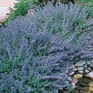 Catmint -- survived salt water flooding