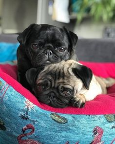 Epic Firetruck's Pugs ~ Cute Baby Pugs, Cute Baby Animals, Cute Pug Pictures, Pug Pics, Grumble Of Pugs, Tattoo L, Super Cute Puppies, Pugs And Kisses, Silly Dogs